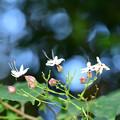 Photos: クサギの花