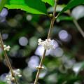 Photos: 純白の花