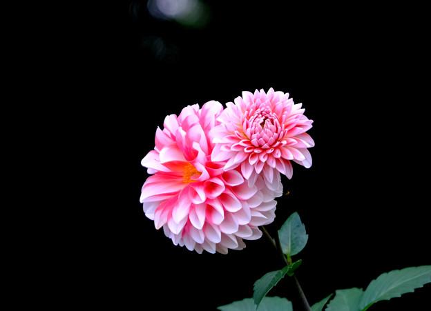 Photos: 菊みたいな親子