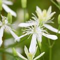 Photos: センニンソウの花