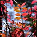 Photos: 紅葉するニシキギ