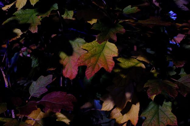紅葉する柏葉アジサイの葉