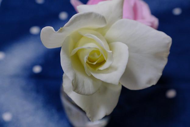 白薔薇に慰められる