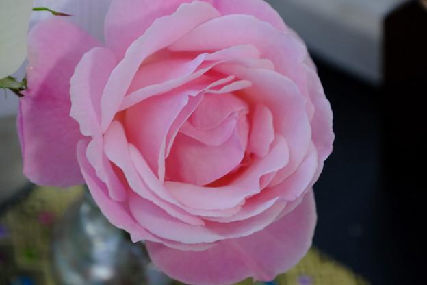Photos: ピンクのバラに