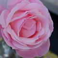 ピンクのバラに