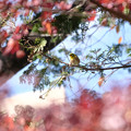 Photos: 紅葉メジロ2
