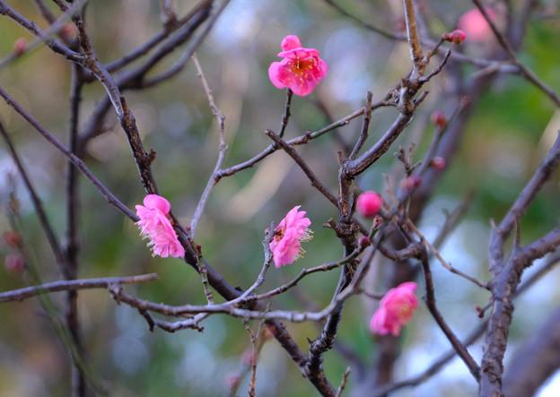 Photos: 咲き始め1