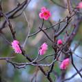 咲き始め1