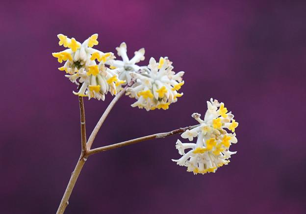 ミツマタの花はこれ