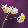 Photos: ミツマタの花はこれ