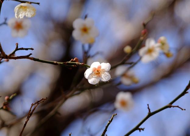 Photos: 白梅4