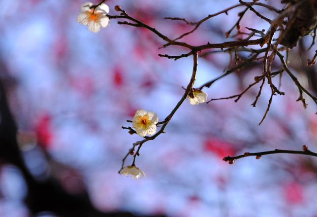 Photos: 白梅ぼちぼち