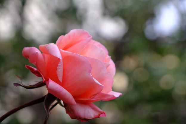 庭のタンジェリーナ3