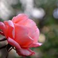 Photos: 庭のタンジェリーナ3