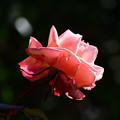 Photos: 庭のタンジェリーナ1