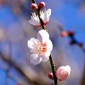 12月から咲いている