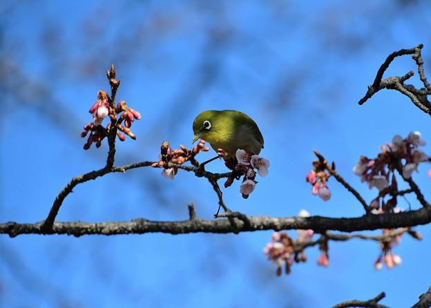 寒桜目白1