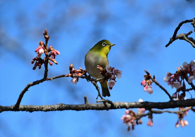 寒桜目白2
