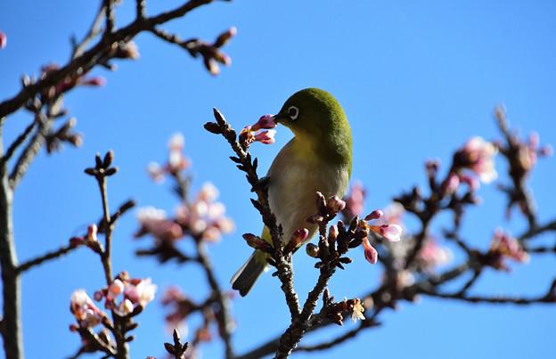 寒桜目白吸蜜