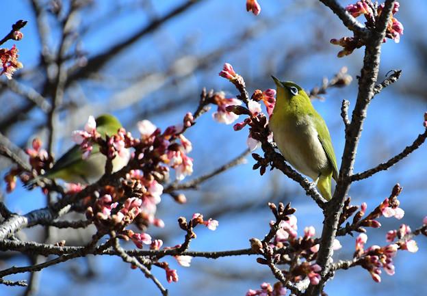 寒桜目白二羽2