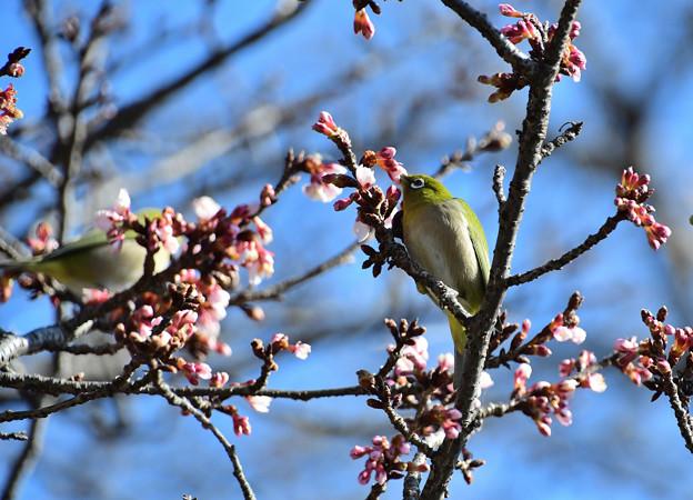 寒桜目白二羽1