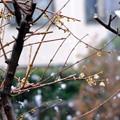 Photos: やがて雪に