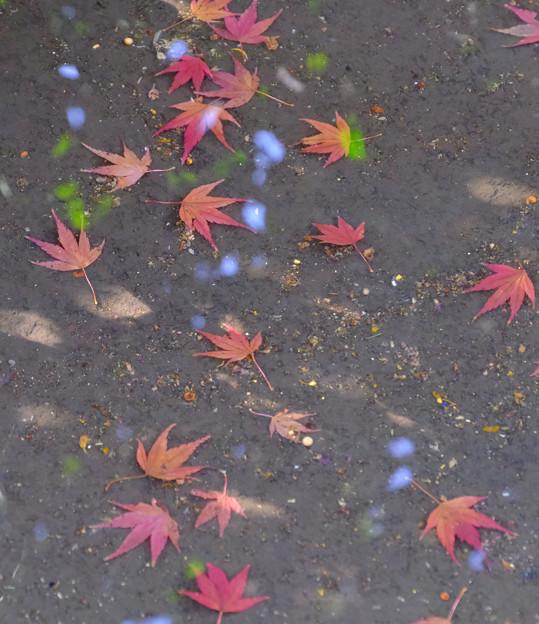 水たまりに紅葉