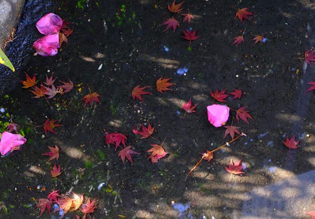 水たまりに花びらも