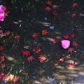 Photos: 水たまりに花びらも