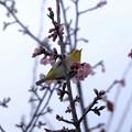 Photos: 寒桜目白2