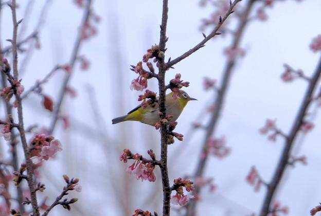 寒桜目白4
