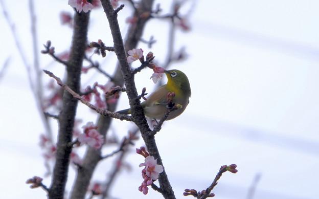 寒桜目白7