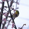 Photos: 寒桜目白7