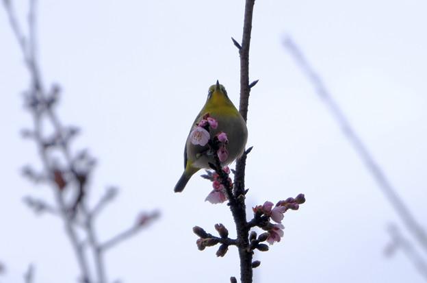 寒桜目白6