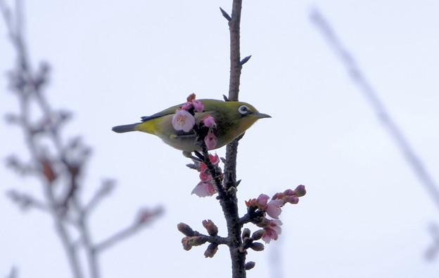Photos: 寒桜目白5