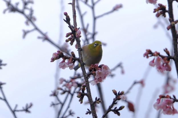 Photos: 寒桜目白3