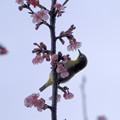 Photos: 寒桜目白吸蜜