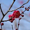 Photos: 八重の紅梅
