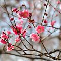 Photos: ぴんくっぽい紅梅