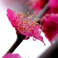 Photos: 紅梅水滴