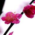 Photos: 紅梅水滴2