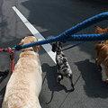 Photos: 4頭での散歩