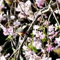 写真: 裏庭のヤマガラ