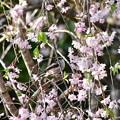 写真: 枝垂桜とエナガ