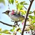 写真: 葉桜コムクドリ