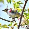 Photos: 葉桜コムクドリ