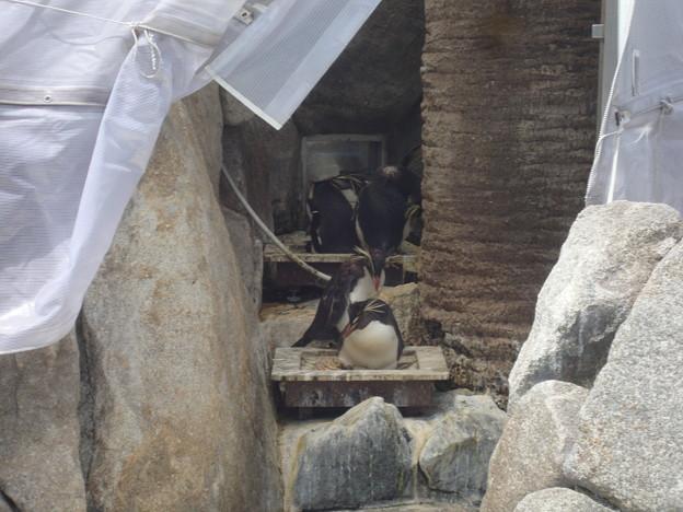 巣ごもり中のイワトビ