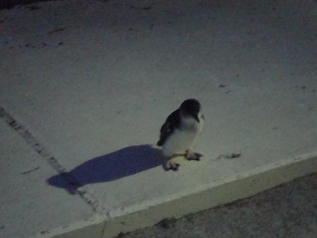 1羽で佇むペンギン