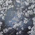 Photos: 川にせり出す桜