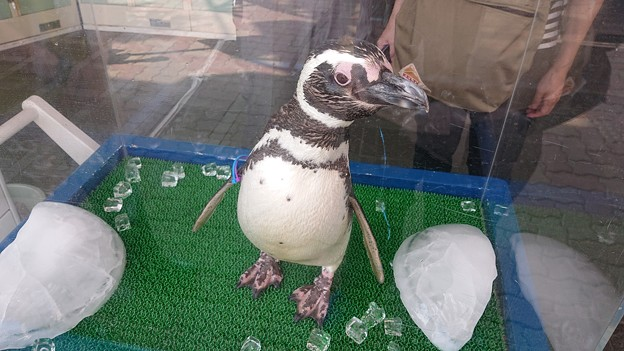 お出迎えペンギン2